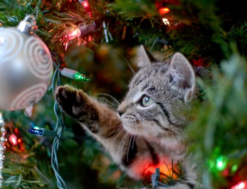 Diary of a Wise Feline: Lessons Learned about Holiday Hazards