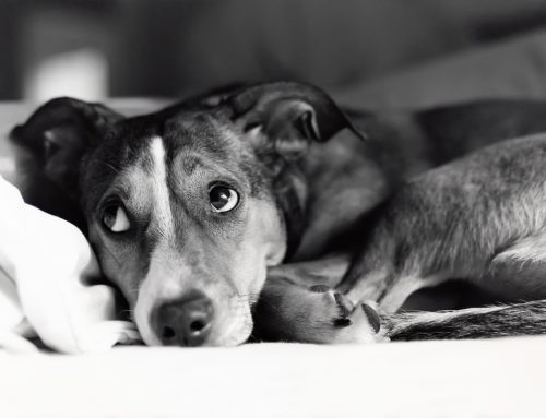 Don't Leave Me! Separation Anxiety Signs and Management in Pets